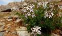 Aethionema saxatile ssp  graecum (4)