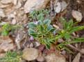 Acinos arvensis (1)