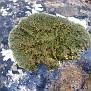 Lichen  (7)