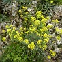 Aurinia saxatilis (1)