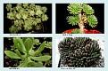 Crassulaceae  (5)