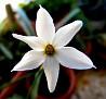 Narcissus serotinus (20)