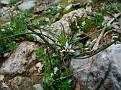 Romulea columnae (3)