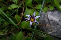 Romulea ramiflora (2)
