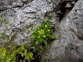 Sedum litoreum (4)
