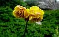 Oxalis pes-caprae  pleniflora  (4)