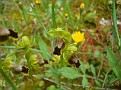 Ophrys melena (9)
