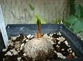 Eriospermum abyssinicum