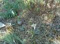 Neotinea maculata + Dactylorhiza romana (1)