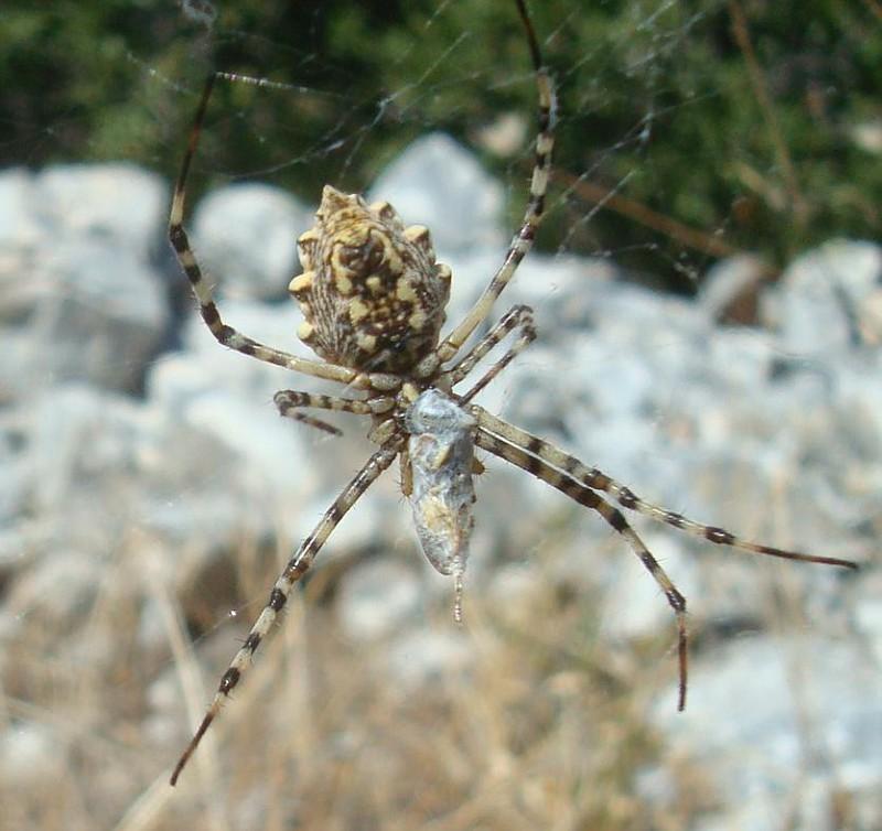 Argiope lobata Αράχνη (3)