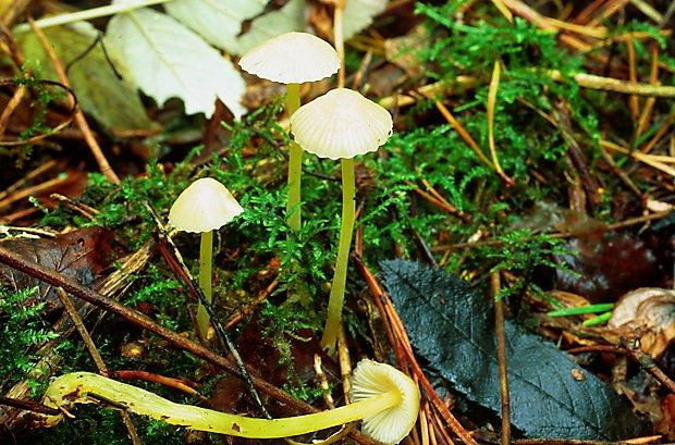 Mycena epipterygia