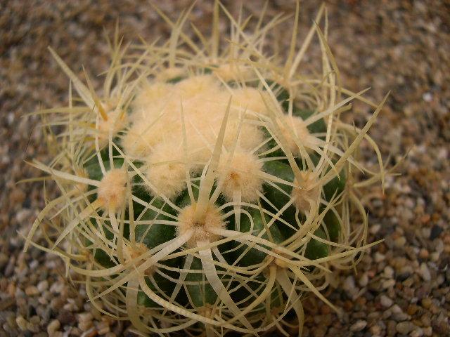 Echinocactus grusonii cv . Krauskopf