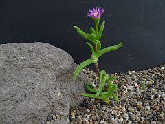 Mitrophyllum roseum