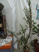 Portulacaria afra v. macrophylla