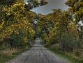 Wattle on the Old Western Road 002