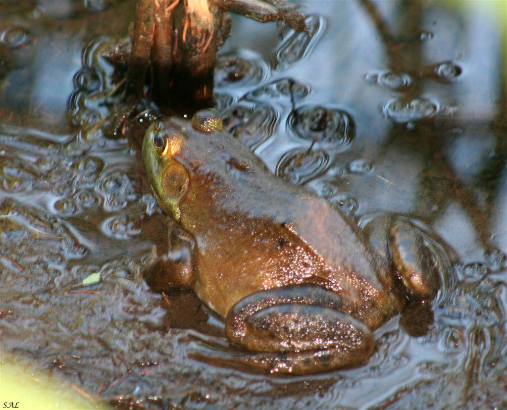 neotenia amphibian uugpwblblblkvsvxa