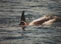 Orca 007