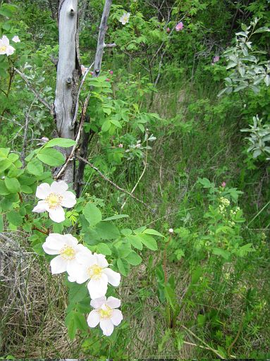 Wild Rose - June 17 - BVPP - PR