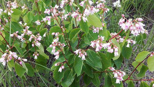 Twinflower (Linnea borealis) - June 21- Bowmont Park - SC