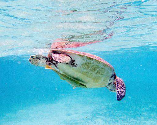 swimming green turtle