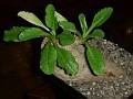 Euphorbia primulifolia var primulifolia