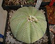 Euphorbia obesa ssp.symmetrica