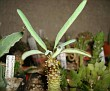 Euphorbia hadramautica