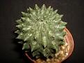 Euphorbia gymnocalycioides
