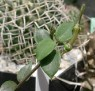 Ceropegia africana ssp. africana