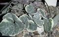 Ceropegia woodii v. variegata