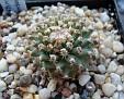 Turbinicarpus alonsoi x valdezianus