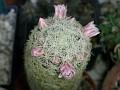 Mammillaria giselae