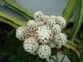 Mammmillaria vetula ssp gracilis 'Arizona Snowcap'