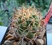Eriosyce sandillon (-> Eriosyce aurata )
