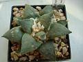 Ariocarpus retusus f. minimus -Echido Nuncio