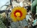 Astrophytum capricorne var  major