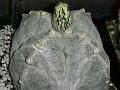 Astrophytum myriostigma v quadricostatum f.  -Japan hybrid