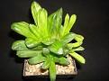 Haworthia truncata hybrid variegata -Japanese cultivar
