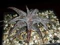 Aloe cv. 'baby lizard'