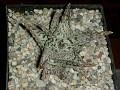 Aloe cv 'Doran Black'