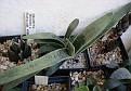Gasteria bicolor variegate form