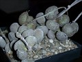 Adromischus marianae cv  'Little Sphaeroid'