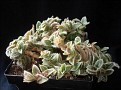 Cyanotis somaliensis (Tradescantia somaliensis)