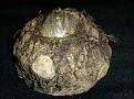 Sauromatum venosum