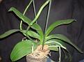 Phalaenopsis sp