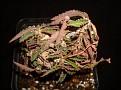 Euphorbia suzannae-marnierae