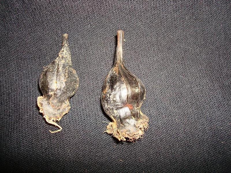 Androcymbium latifolium