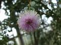 209. Melaleuca nesophyla