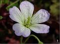 DSCN1472 Geranium sp  04 08 12