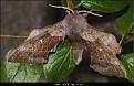 Laothoe populi - Ospesvermer